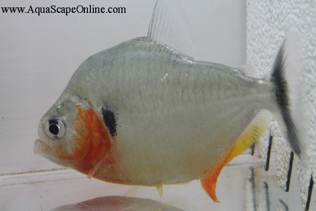 """Humeralis Piranha 5"""" (Serrasalmus Humeralis) - Product View"""