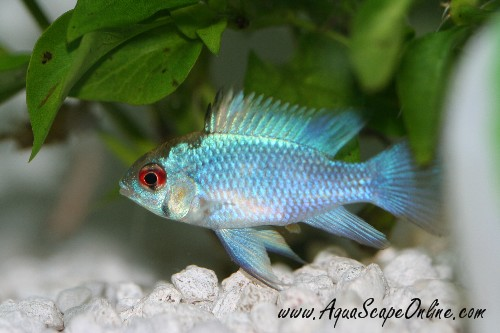 Difference Between Blu And German Blue Rams The Planted