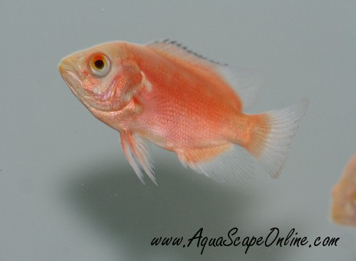 Ruby Red Oscar 3 4 Astronotus Ocellatus Product View