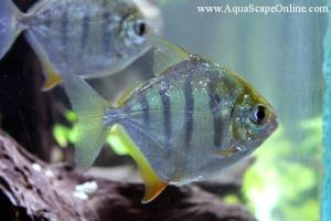 Aquascapeonline online fish store that sells piranhas for Tiger striped fish