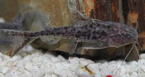 Granulated Catfish (Pterodoras Granulosus) 3""